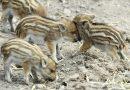 Afrikai sertéspestist találtak egy Gyöngyös környéki vaddisznóban